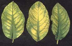 Manganese toxicity in lemons