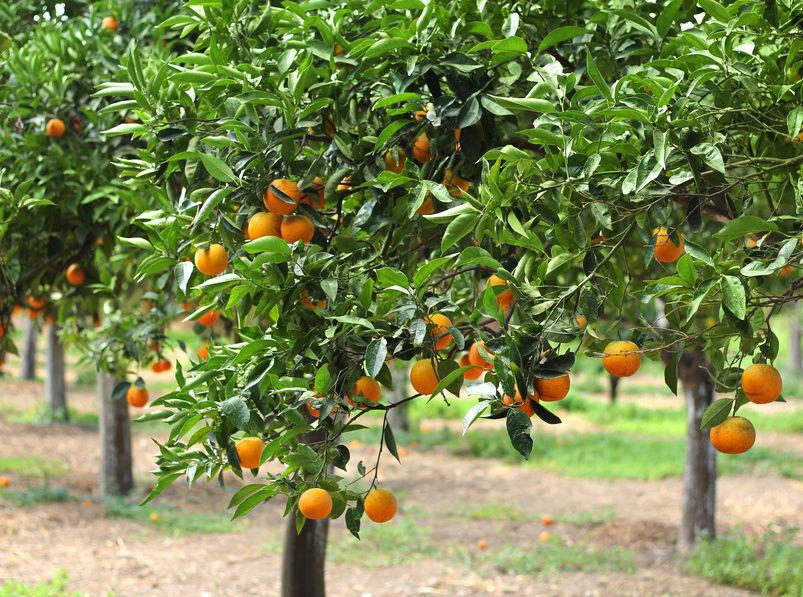 How to avoid yellow leaves on citrus trees sumogardener for Lemon plant images