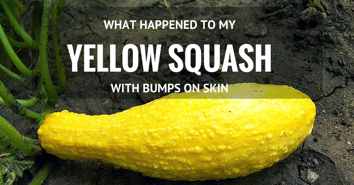 What Happened To My Yellow Squash With Bumps On Skin