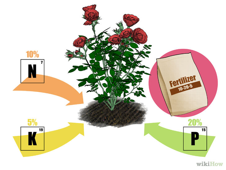 How to Fertilize Roses