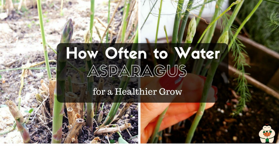 How often to water Asparagus for Healthier Grow