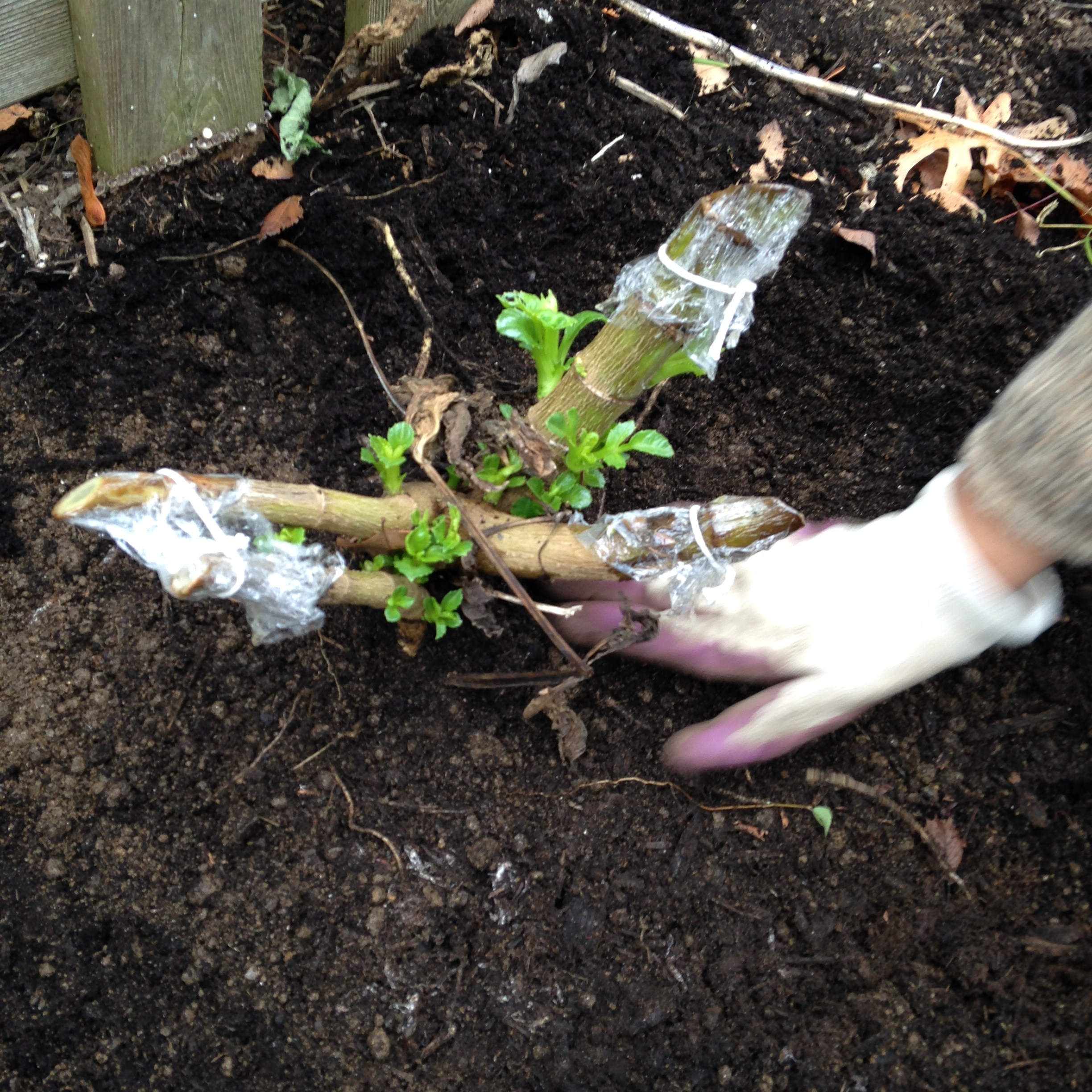 how to kill pokeweed roots