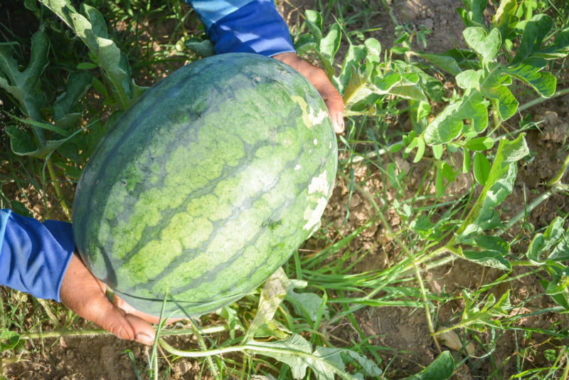 Signs that The Watermelon is Ready to Harvest