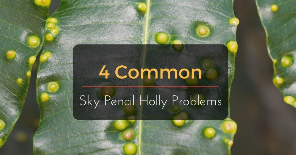 4 Common Sky Pencil Holly Problems Everything You Need