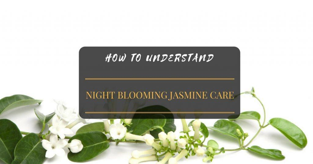 How to NIGHT BLOOMING JASMINE CARE