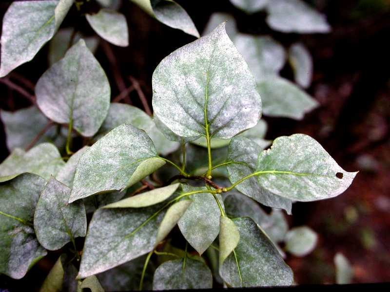 Controlling Powdery Mildew from Advancing​