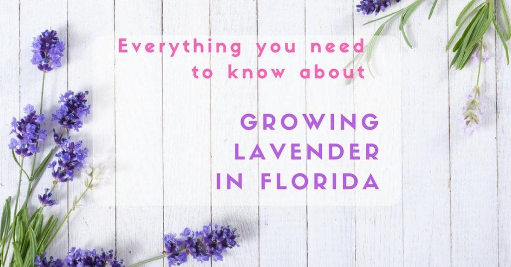 Growing lavender in florida