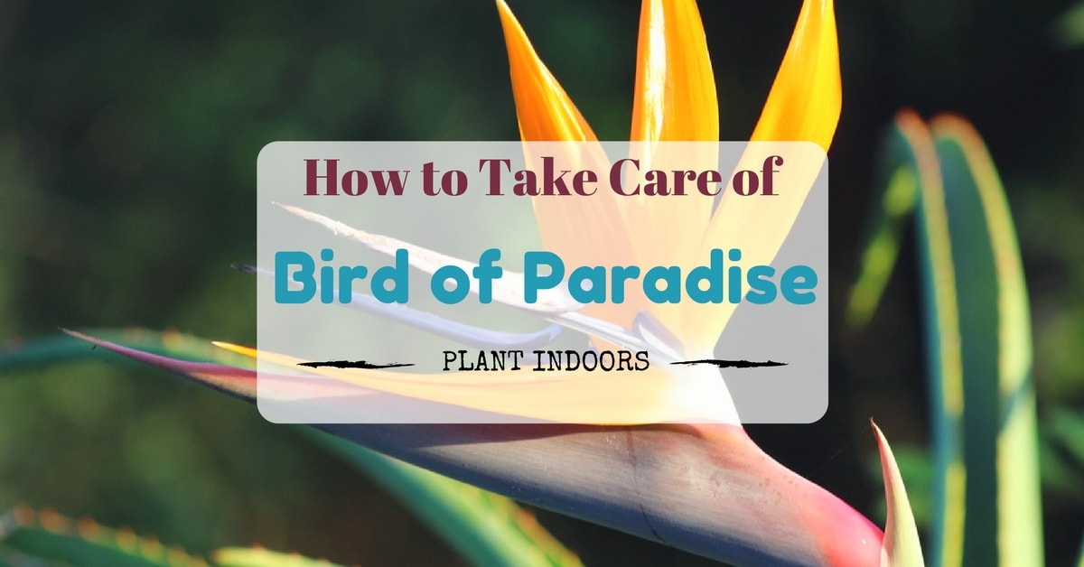 How to take care of bird of paradise plant indoors