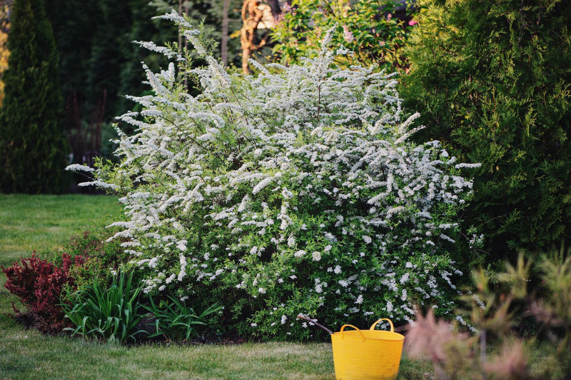 What is the Shrubs of Spirea