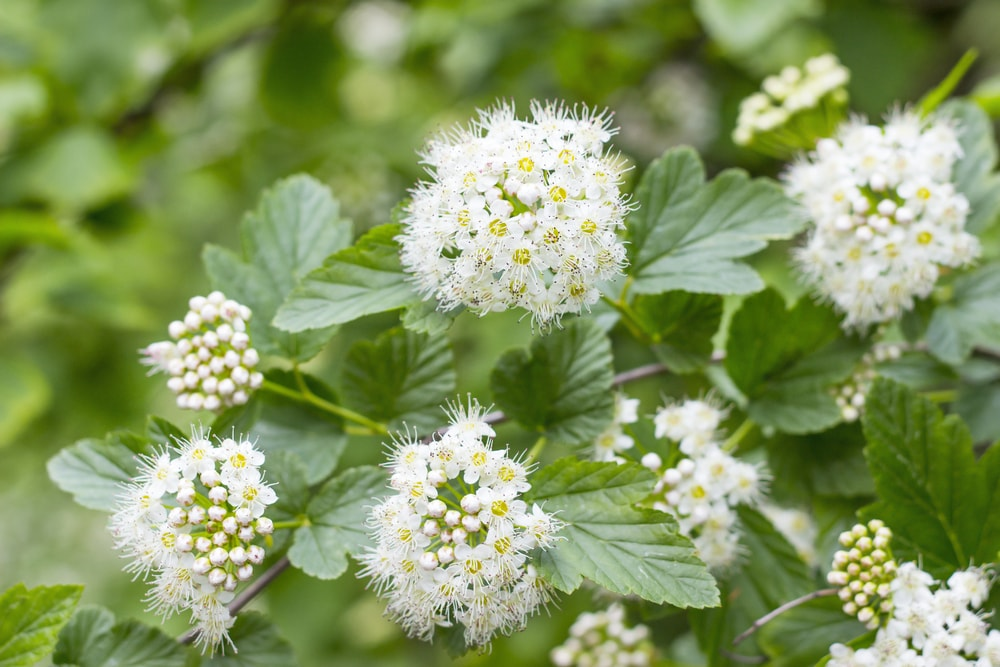 Why Pruning is Needed for Spirea
