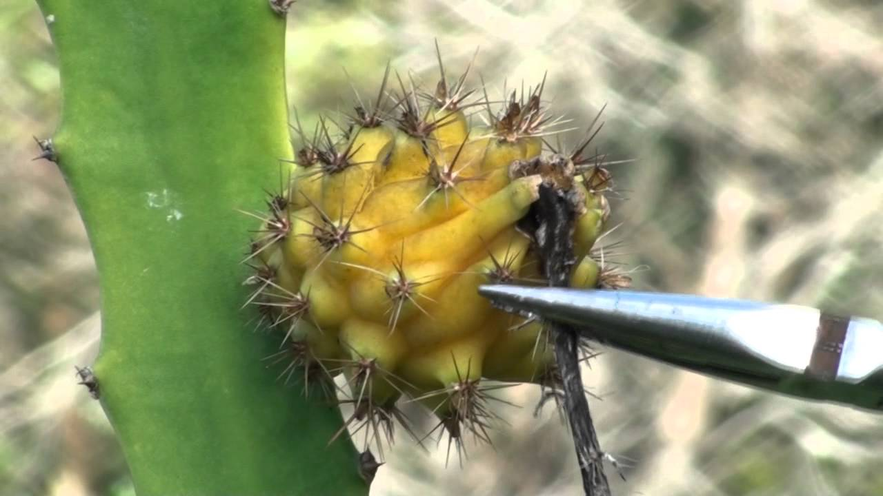 Removing the Dragon Fruit's Thorns