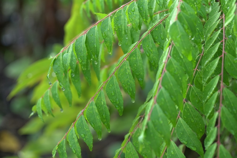 Type of Curry Leaves