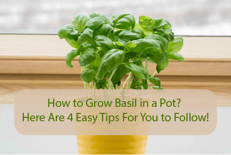 how to grow basil in singapore