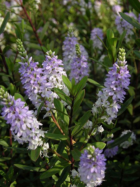 Tips on growing hebes in pots that you should know for Hebe pianta