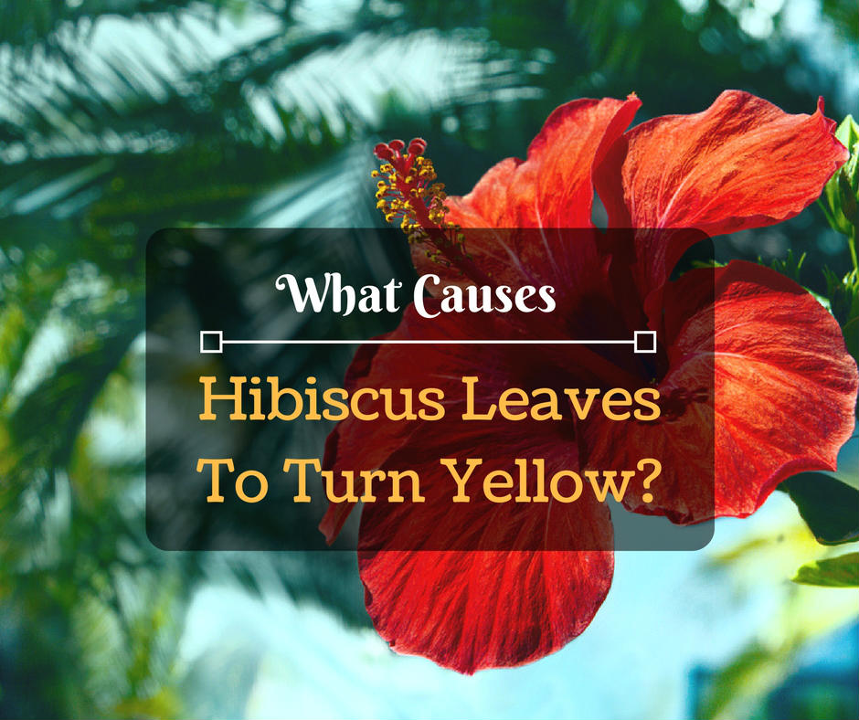 Why Is My Plants Leaves Turning Yellow: Hibiscus Yellow Leaves: What Causes Hibiscus Leaves To