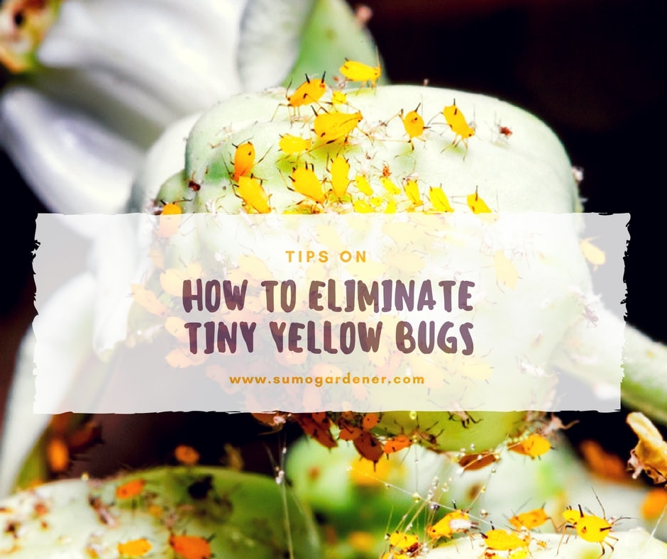 Tips on how to get rid of tiny yellow bugs
