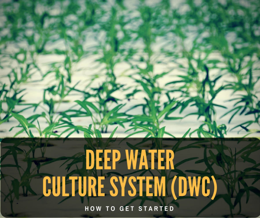 Deep Water Culture System (DWC) : What is and How does it work?