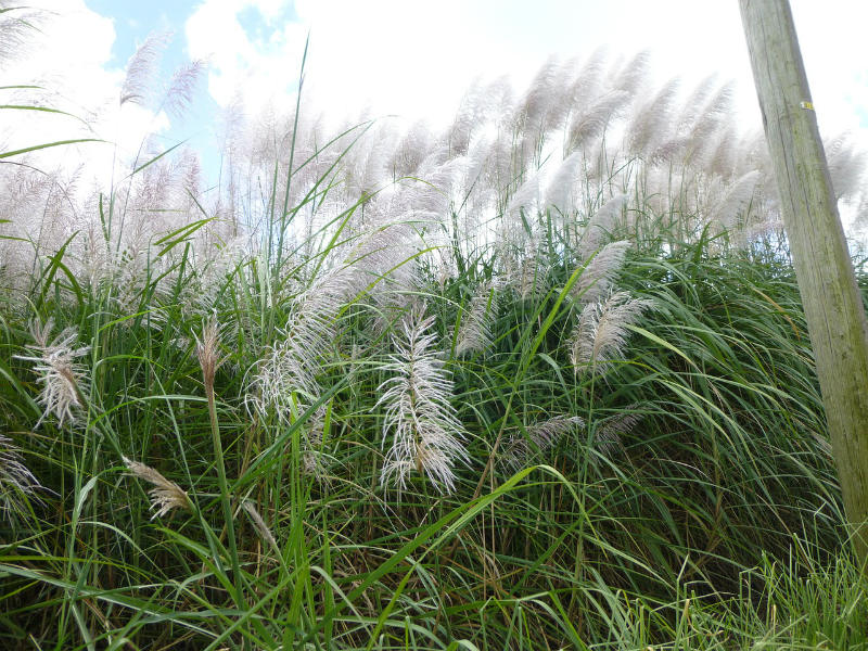 Tips On How To Get Rid Of Pampas Grass