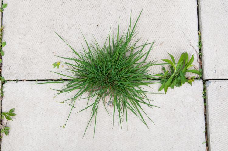 Identifying Crabgrass Weed