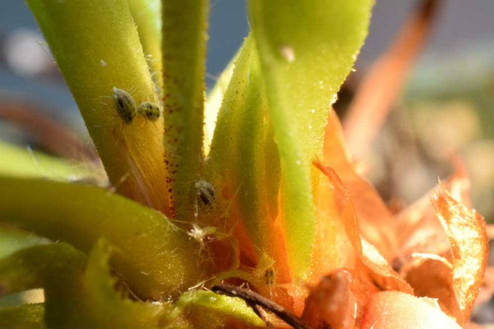 Are you wondering on how to deal with white fuzzy bugs on plants?