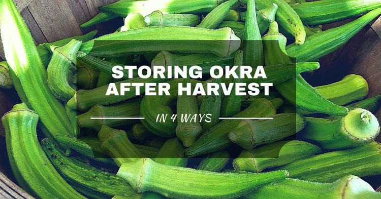 Storing okra after harvest in 4 ways