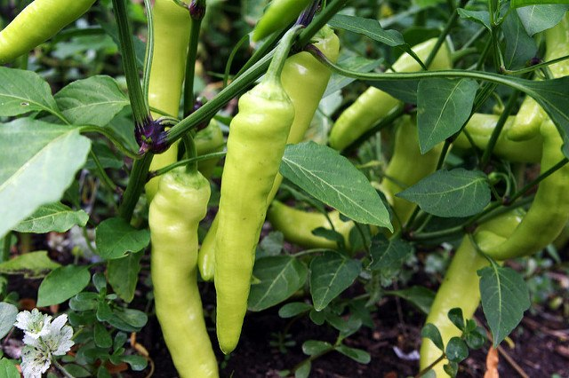 when are banana peppers ready to pick