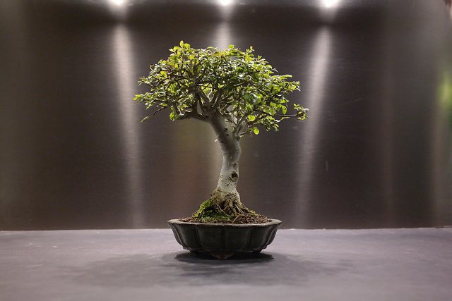 how to take care of bonsai tree at home