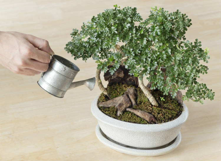 how much water for bonsai trees
