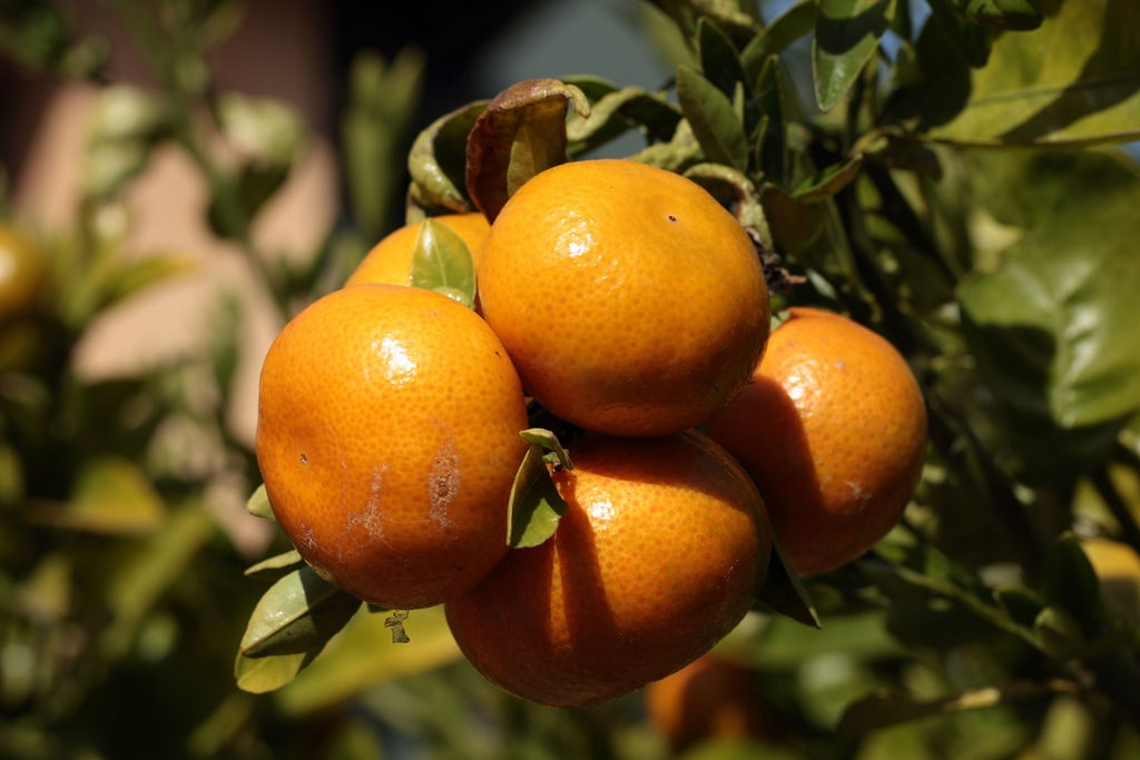 Citrus trees with lower pH