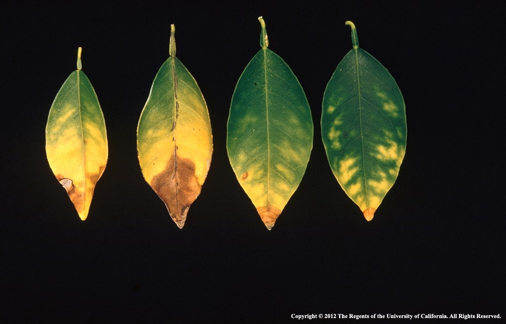 Yellowing leaves accompanied by spotting is a sign of boron toxicity
