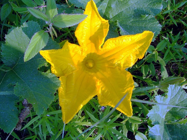 Grow Healthy Crookneck Squash
