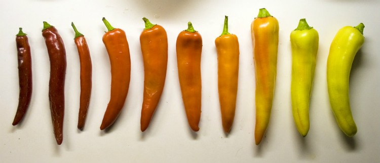 harvesting banana peppers