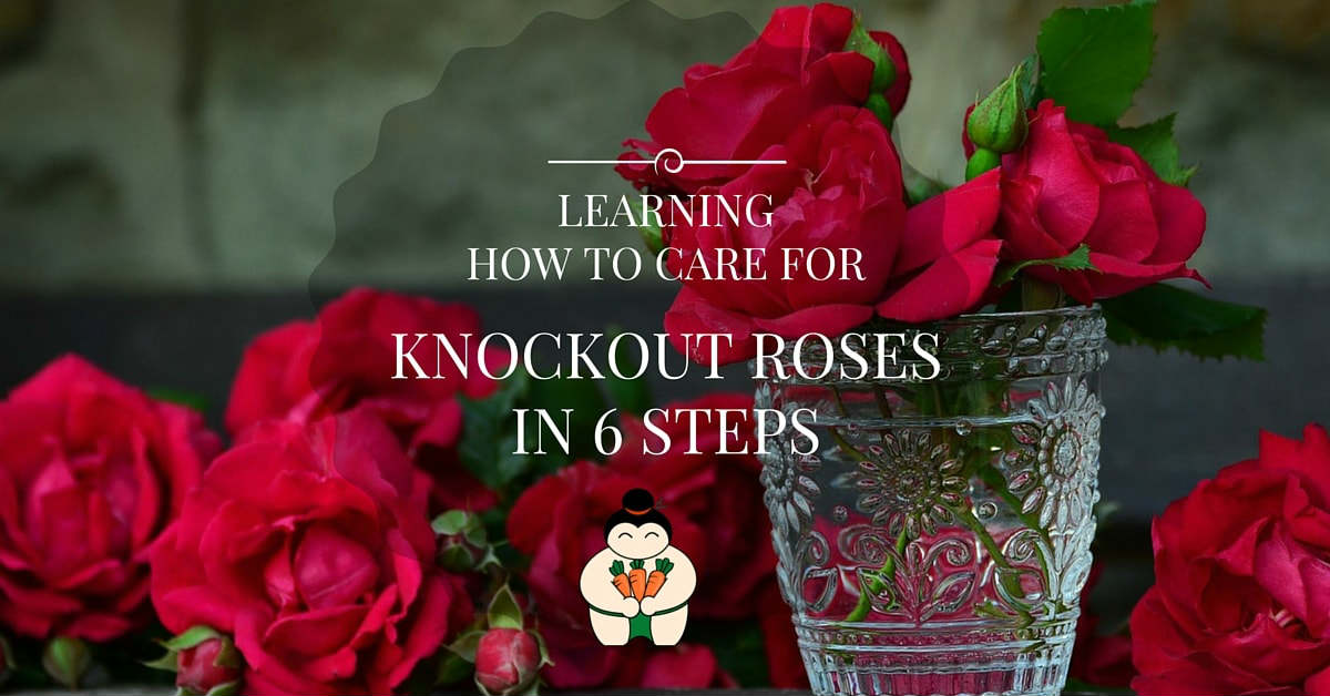 Learning How to Care for Knockout Roses in 6 Steps
