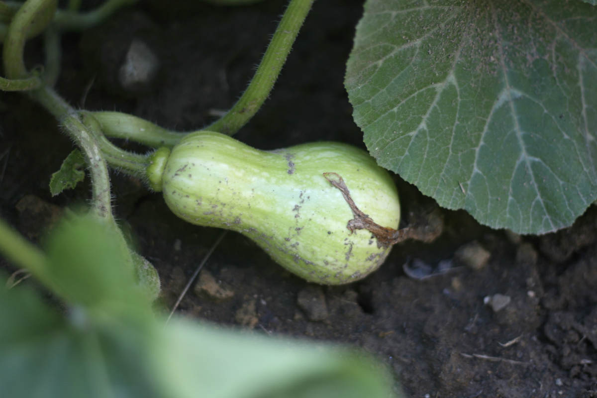 Look at Butternut Squash stem