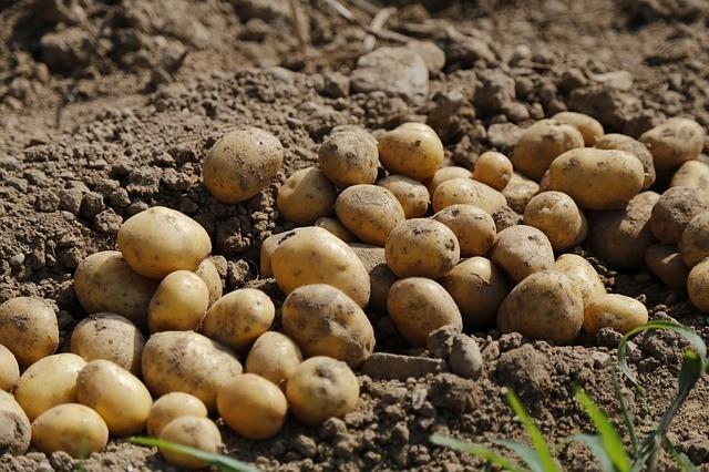 soil for potato