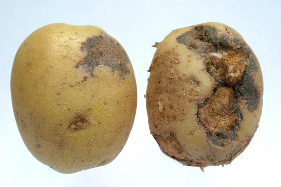 potatoes rot