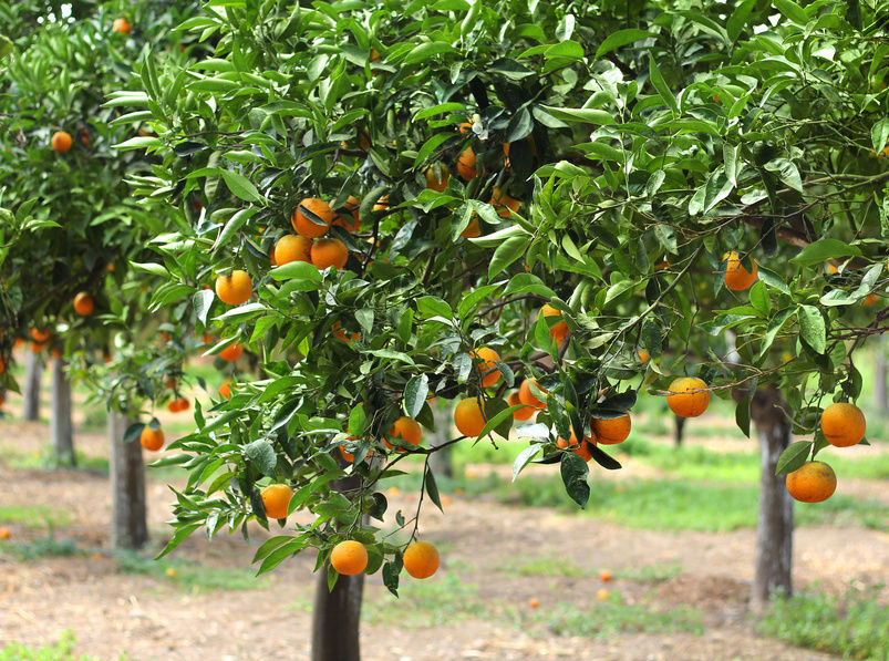 Autumn is the best season to plant citrus trees