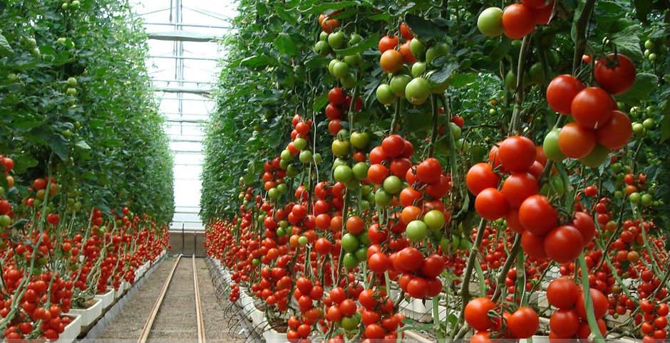 spacing between tomato plants