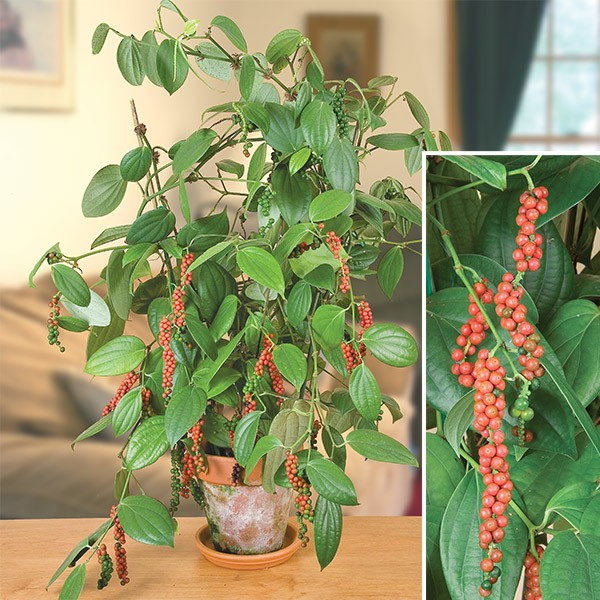 staking black pepper tree