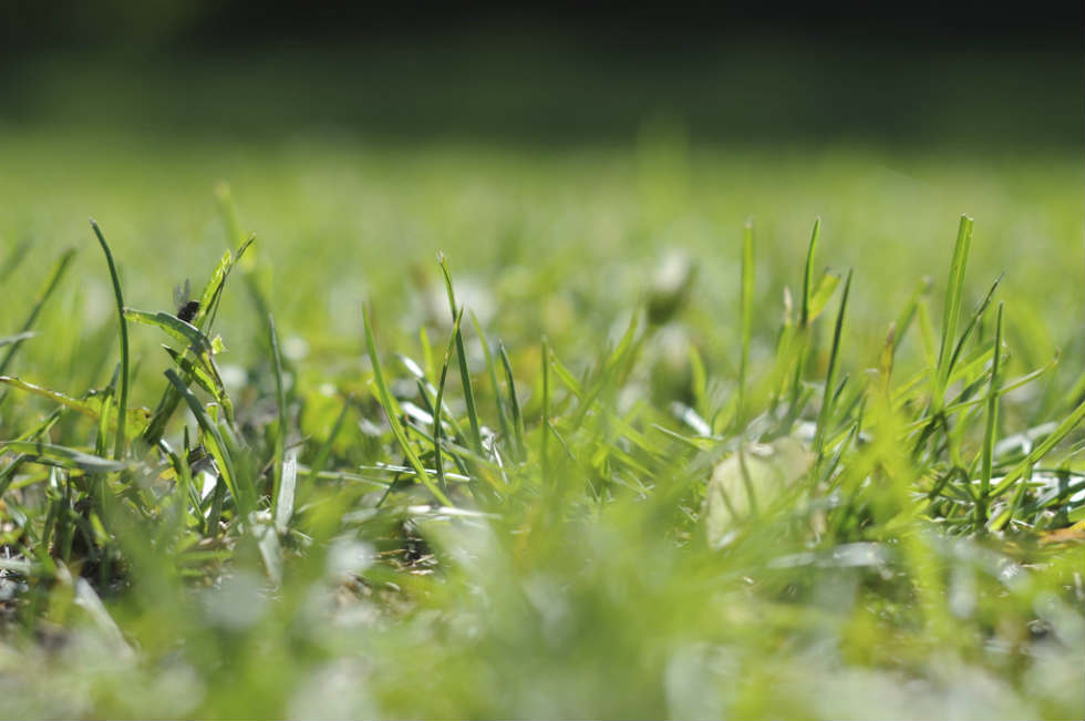 It is advised to plant grass in early summer before it becomes scorching hot