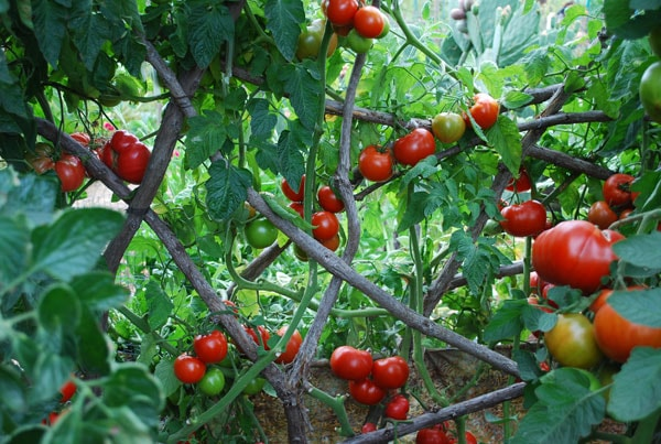 the difference between determinate and indeterminate tomatoes