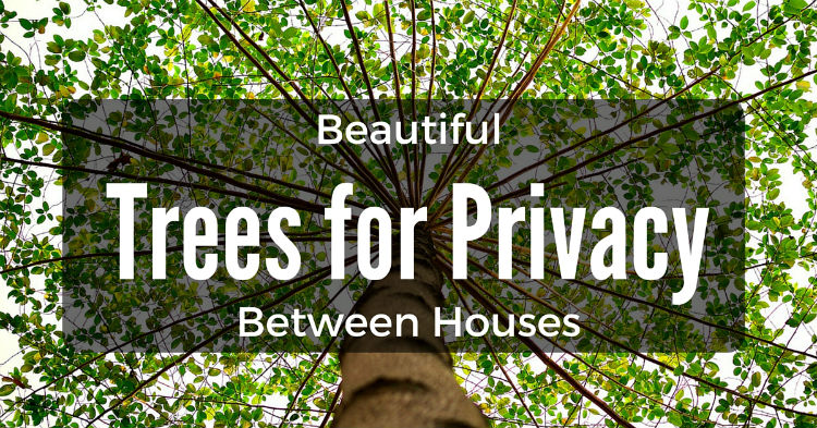 beautiful trees for privacy between houses