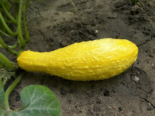 yellow crookneck squash with bumps on skin