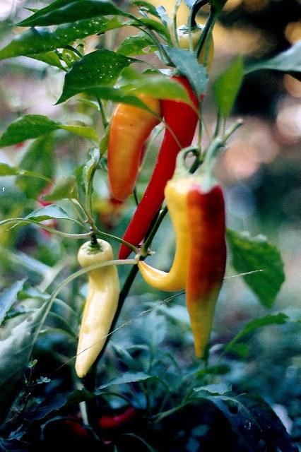 when do banana peppers mature