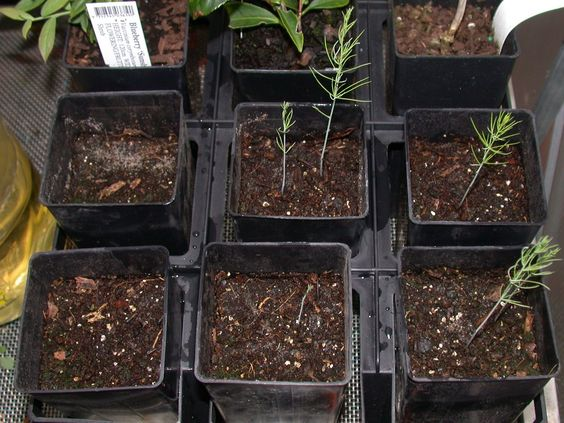 Growing Asparagus from seeds (propagate)