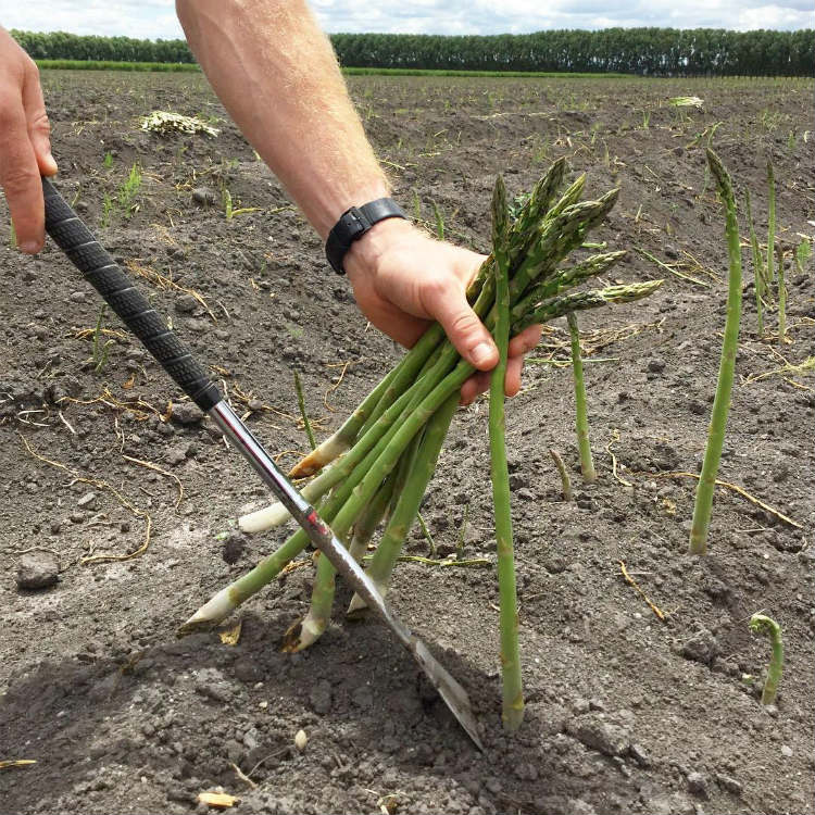 Best Place To Plant Asparagus: How To Grow Asparagus