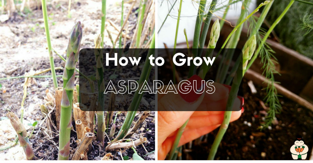 how to grow Asparagus