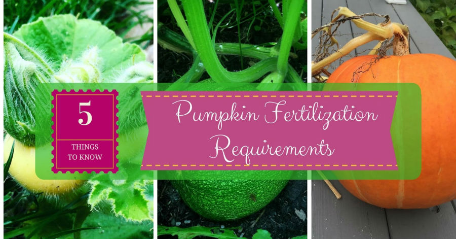 pumkin fertilizer requirements