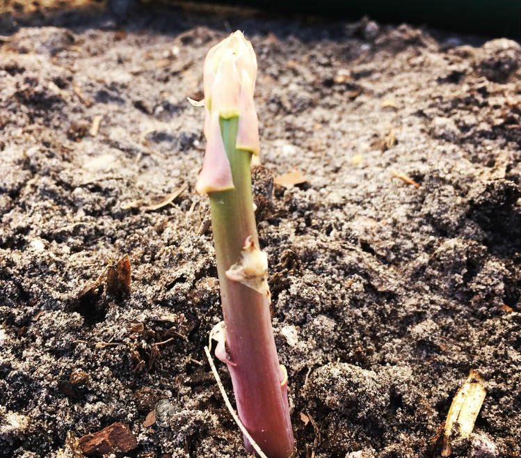 Where to plant Asparagus