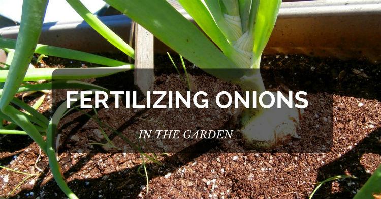 Fertilizing onions in the garden (easy ways)
